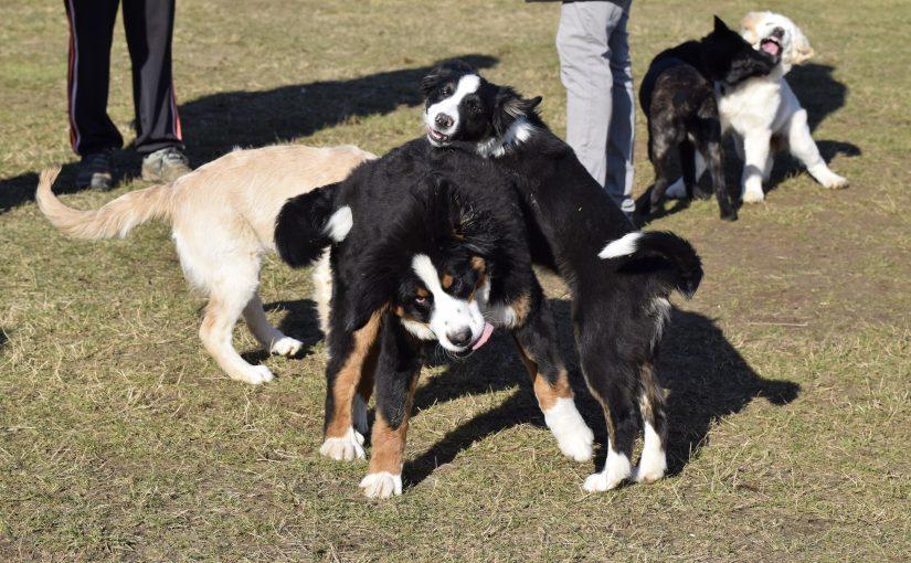 dressage chien dijon